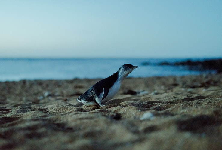 A penguin on the sand.