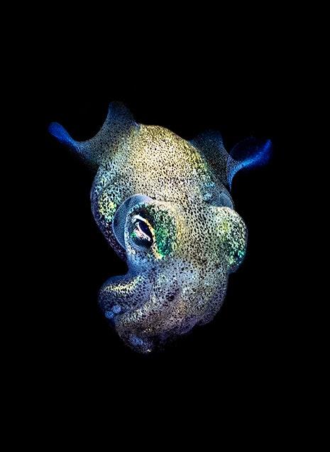 Bobtail squid.