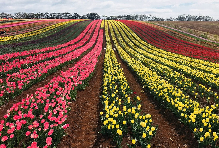 Rows of tulips.