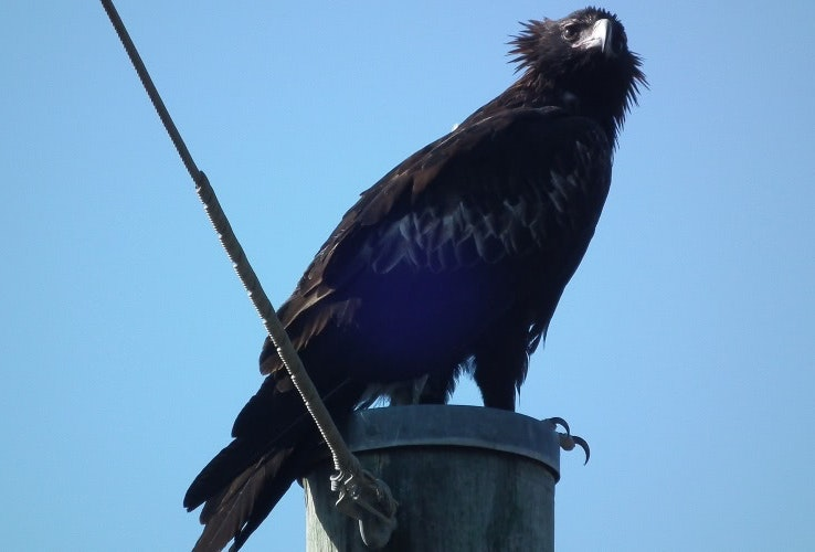 Wedge Tail Eagle