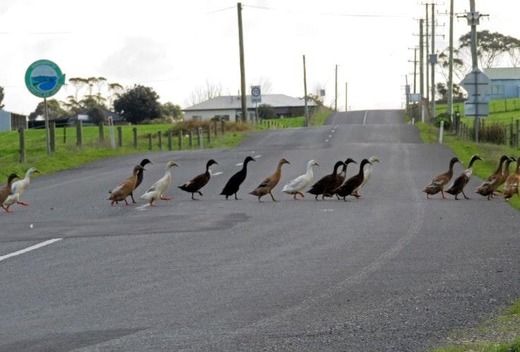 Duck crossing at Montagu