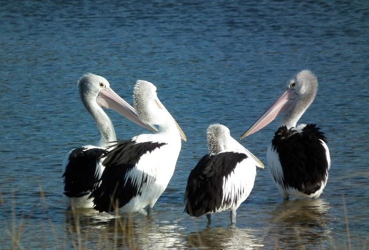 Pelicans at Scamander