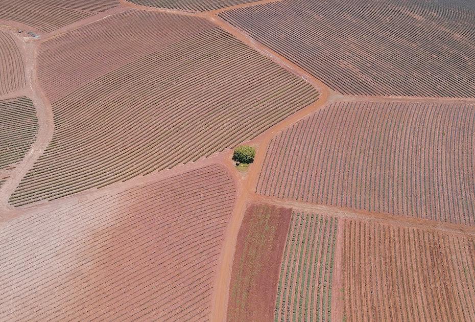 Aerial shot of Bridestowe Lavender Park