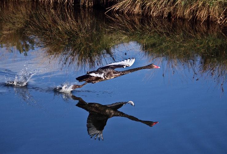 A swan.