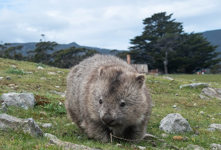 A wombat on Maria Island