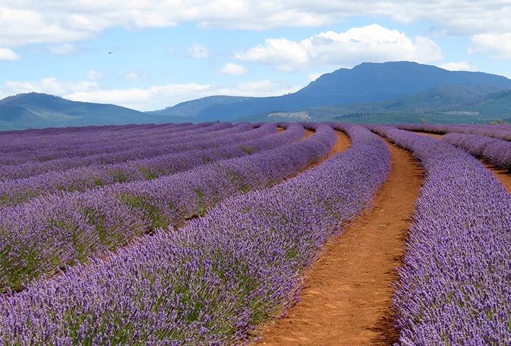 Bridestowe Lavender.