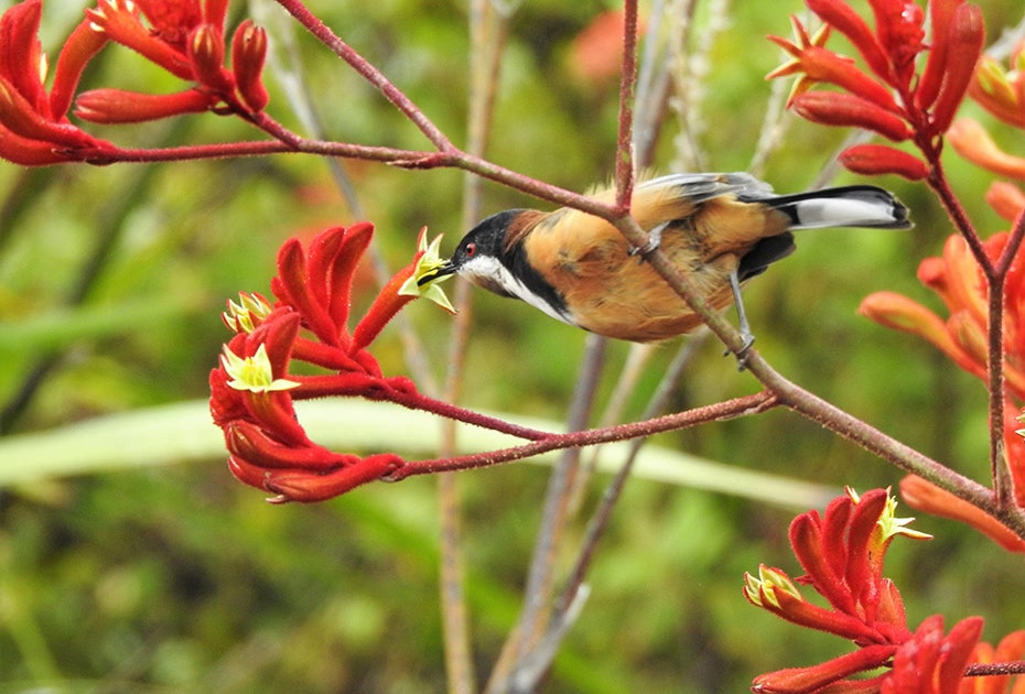 Eastern Spinebill and flowers