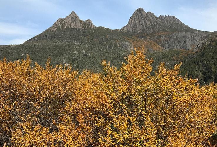 Fagus at Cradle Mountain