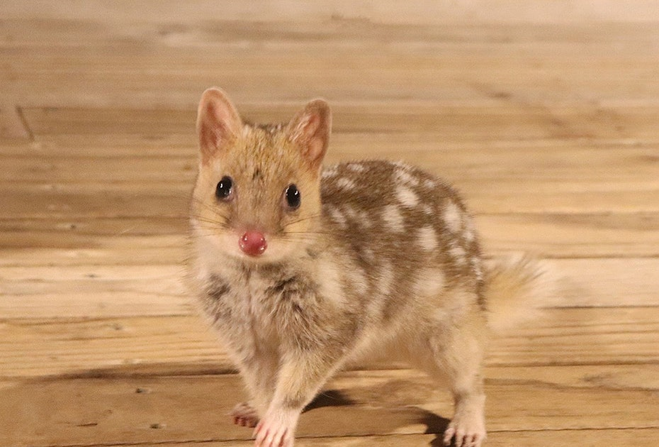Quoll on Bruny Island