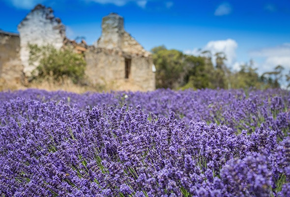 Close up of lavender field with old runes in teh background