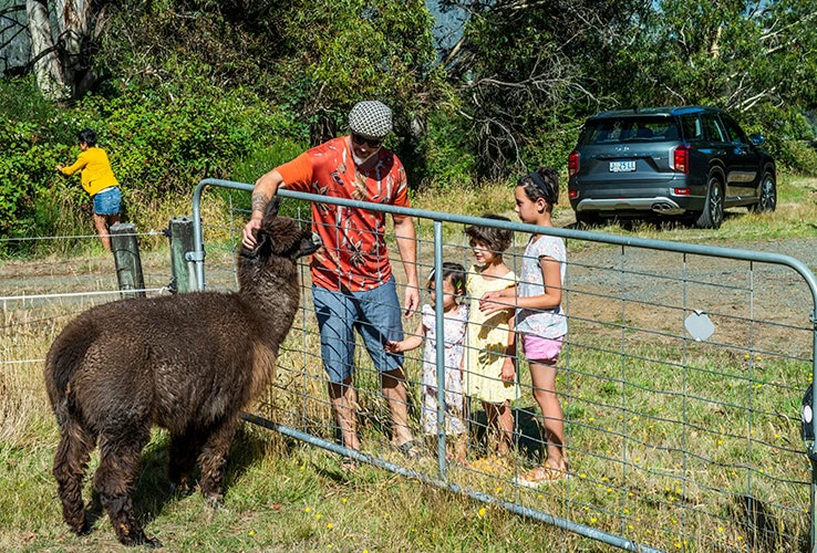 People petting alpaca