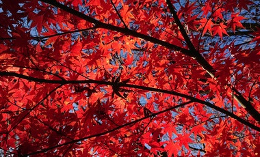 Close up red autumn leaves of a tree