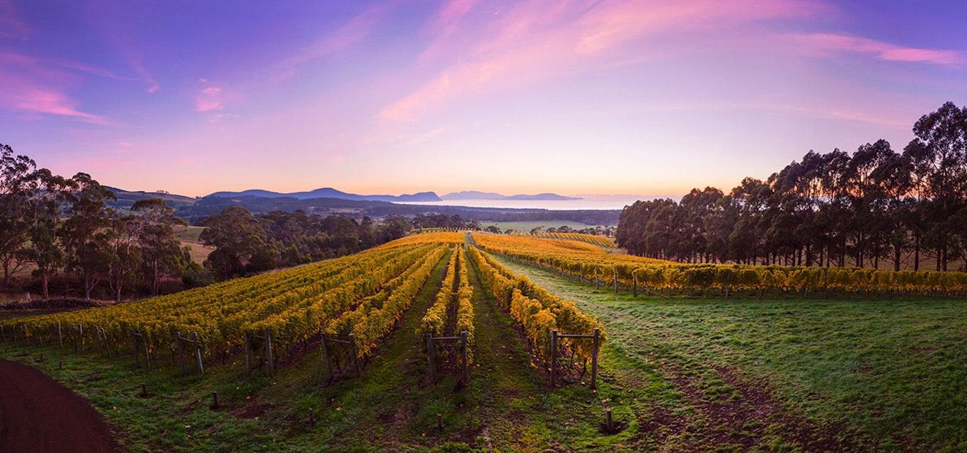 Looking down the trellised rows of a vineyard