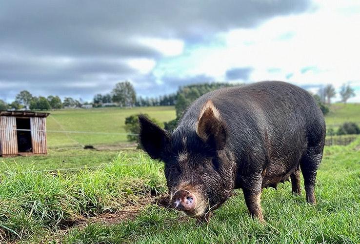 Little pig grazing