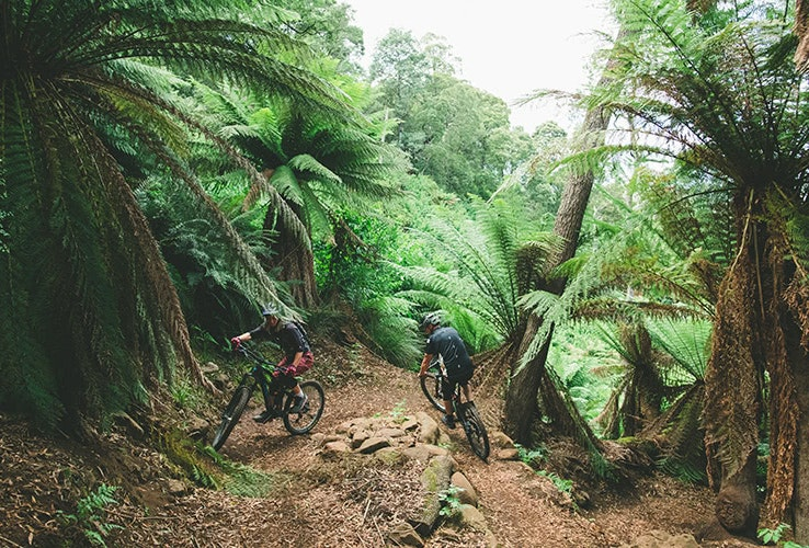 Mountain bike trails lined with large man ferns