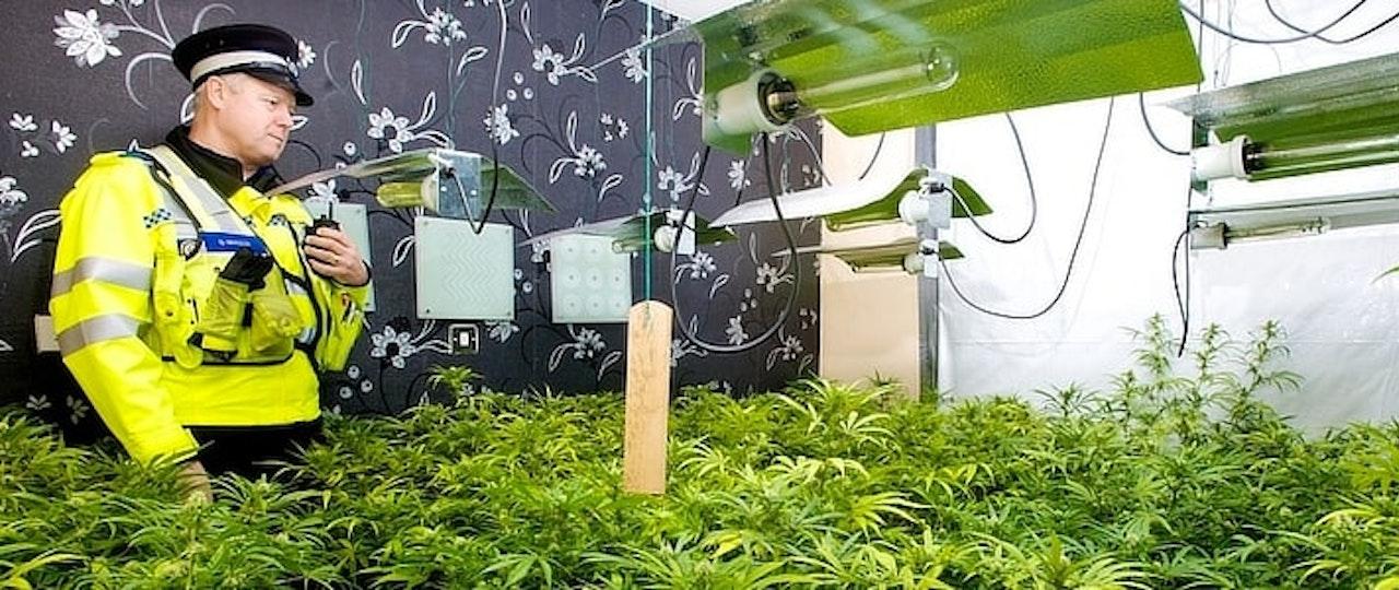 Dealing With a Cannabis Farm