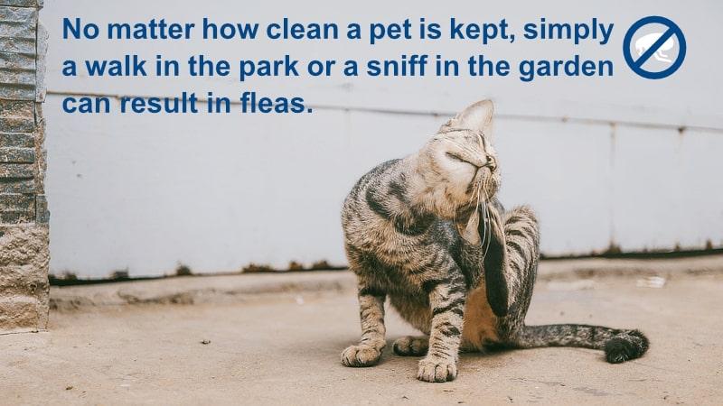 Pet Fleas