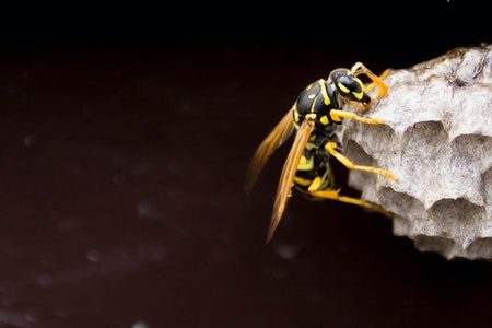 Can a wasp nest damage your house?