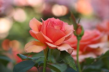 1531119684 rosarosa