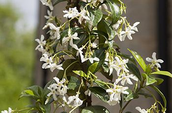 1531142988 jasmine