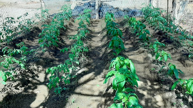 A family in Riohacha, la Guajira, Colombia, has planted several species of crops on a plot of 40 square meters. Having learned to enrich the soil with natural fertilizers, and plant aromatic species as a biologic control to protect the crop, the family is now harvesting the fruit of their efforts.