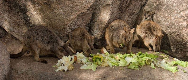 magnetic island activities feeding wallabies