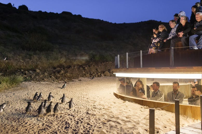 watch the phillip island penguin parade