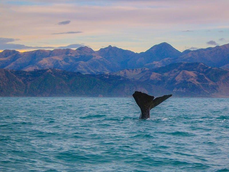 whale watching kaikoura