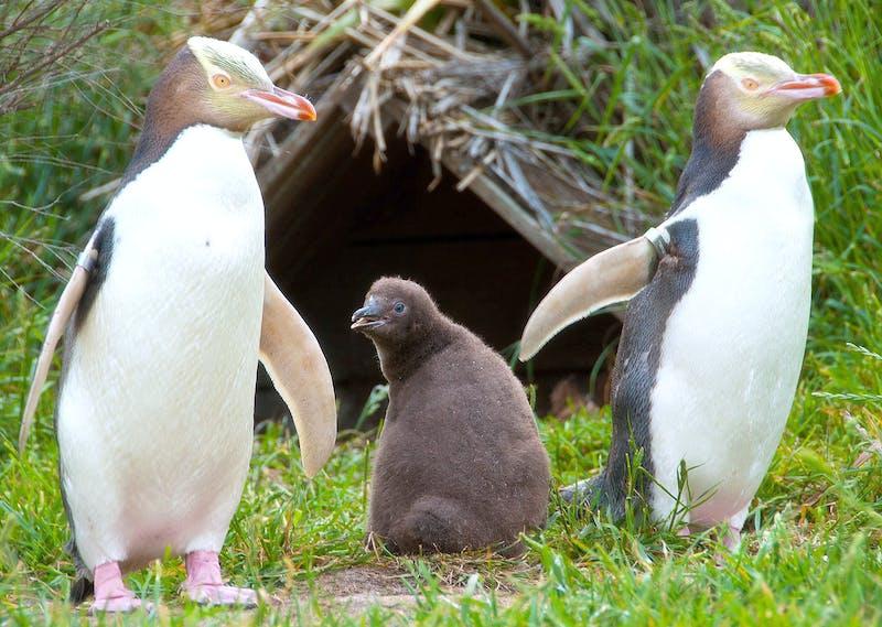penguins - new zealand animals