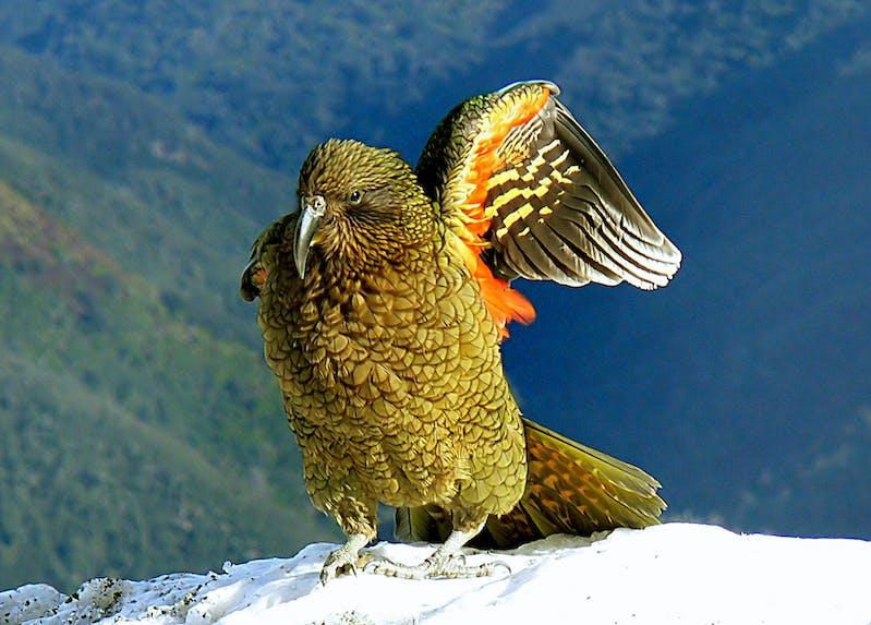 kew new zealand birds