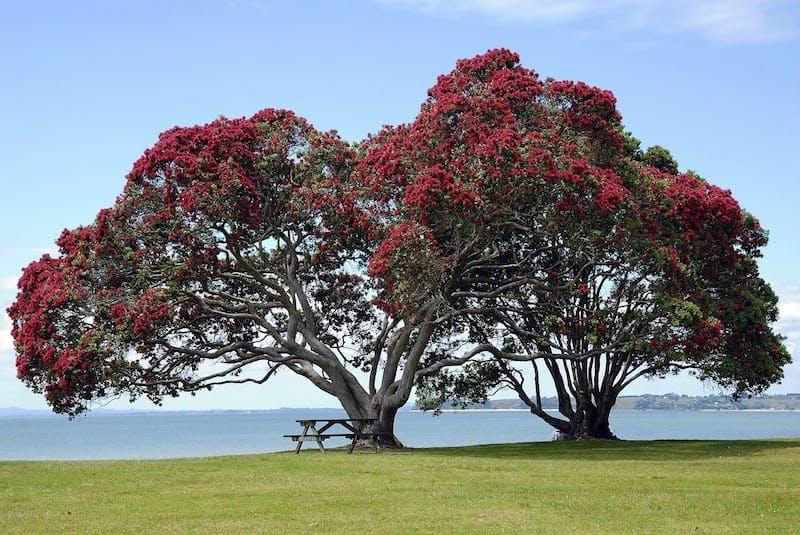 pohutukawa trees