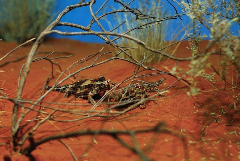 things to do in alice springs thorny devil alice spring desert park