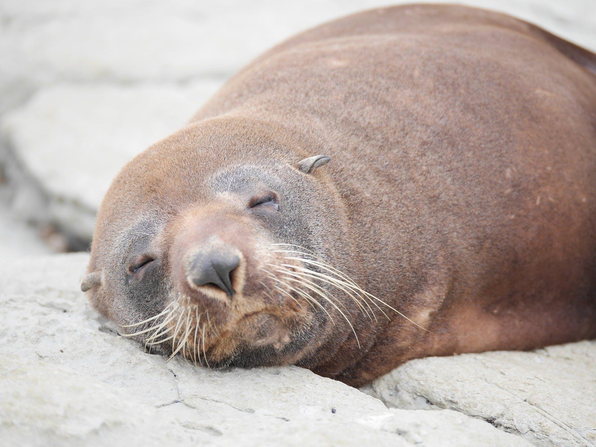 nz marine mammals sea lion