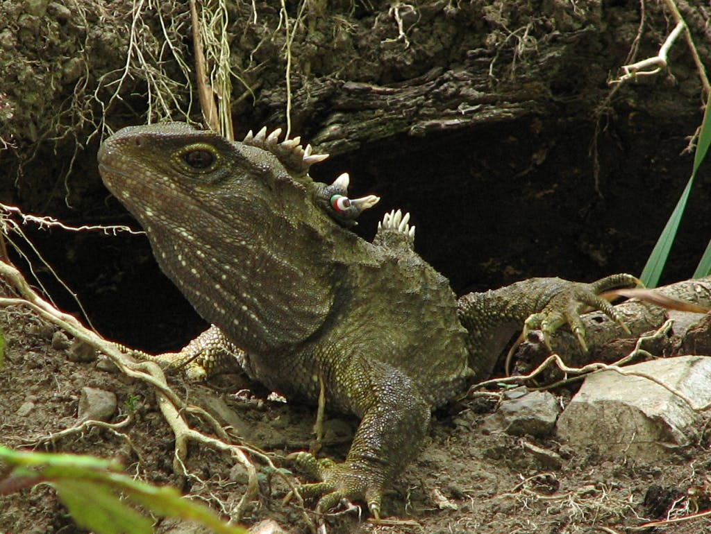 endemic new zealand reptile tuatara