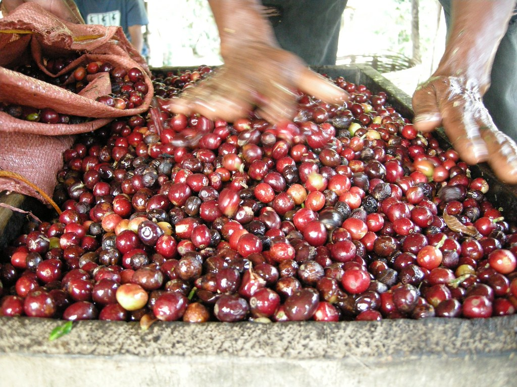 Ripe dark-red cherries at wet mill
