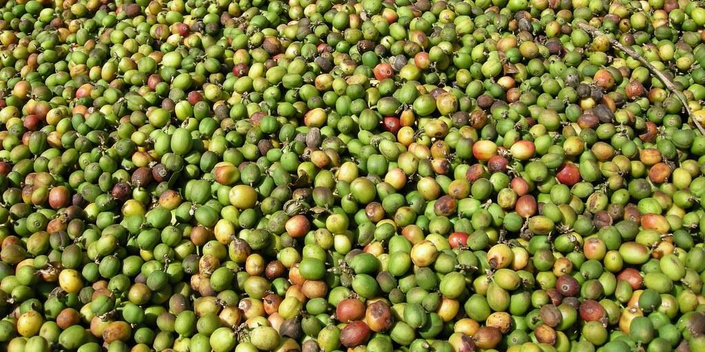 Unripe, green cherries