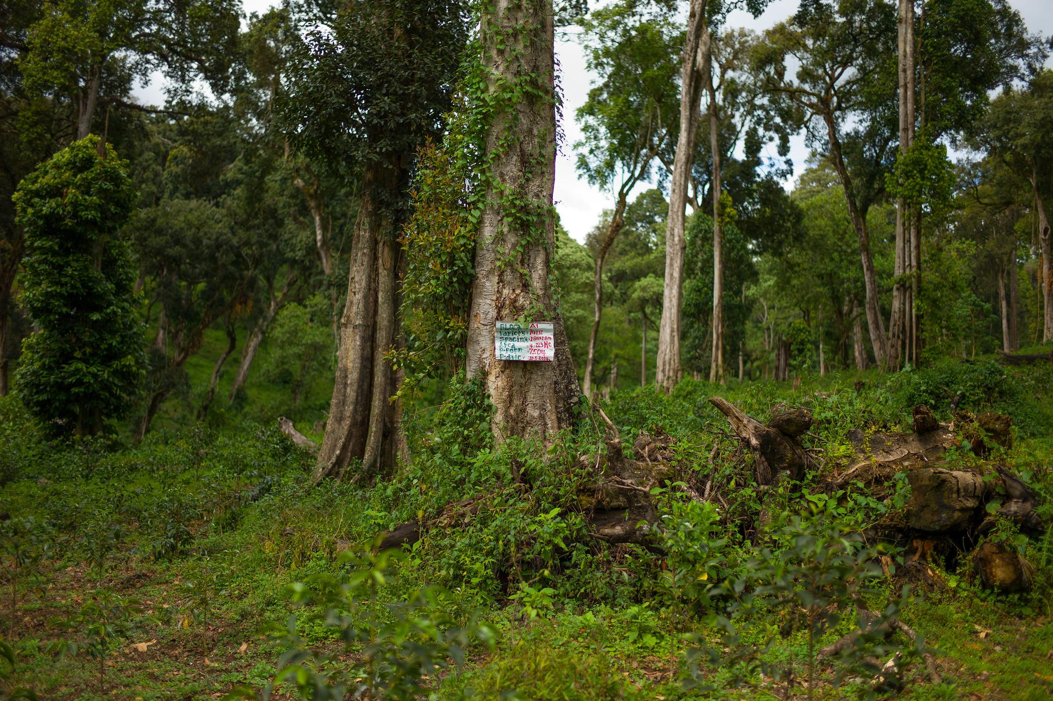 wild coffee forest