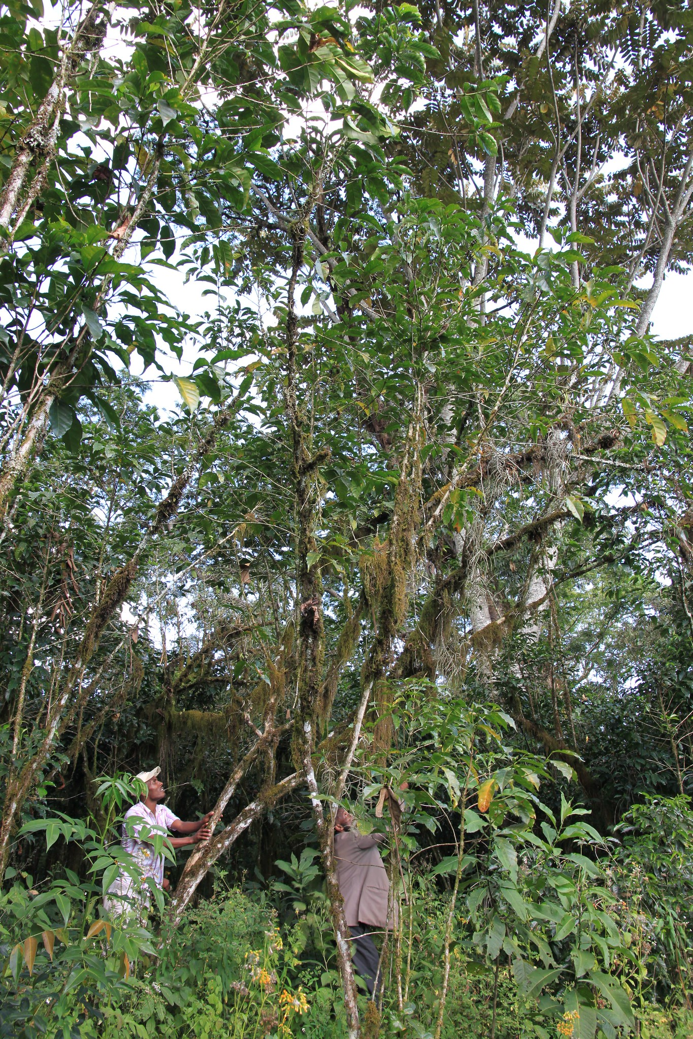 10 meter tall coffee tree!  This was unbelievable. Wild growing coffee tree in the forest around Yukro. To pick, the farmer has to pull the tree over to the side and bend it far enough down to reach the cherries. Fortunately the tree is pretty flexible.