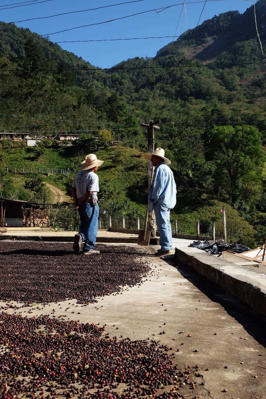 The coffee cherries drying in the sun