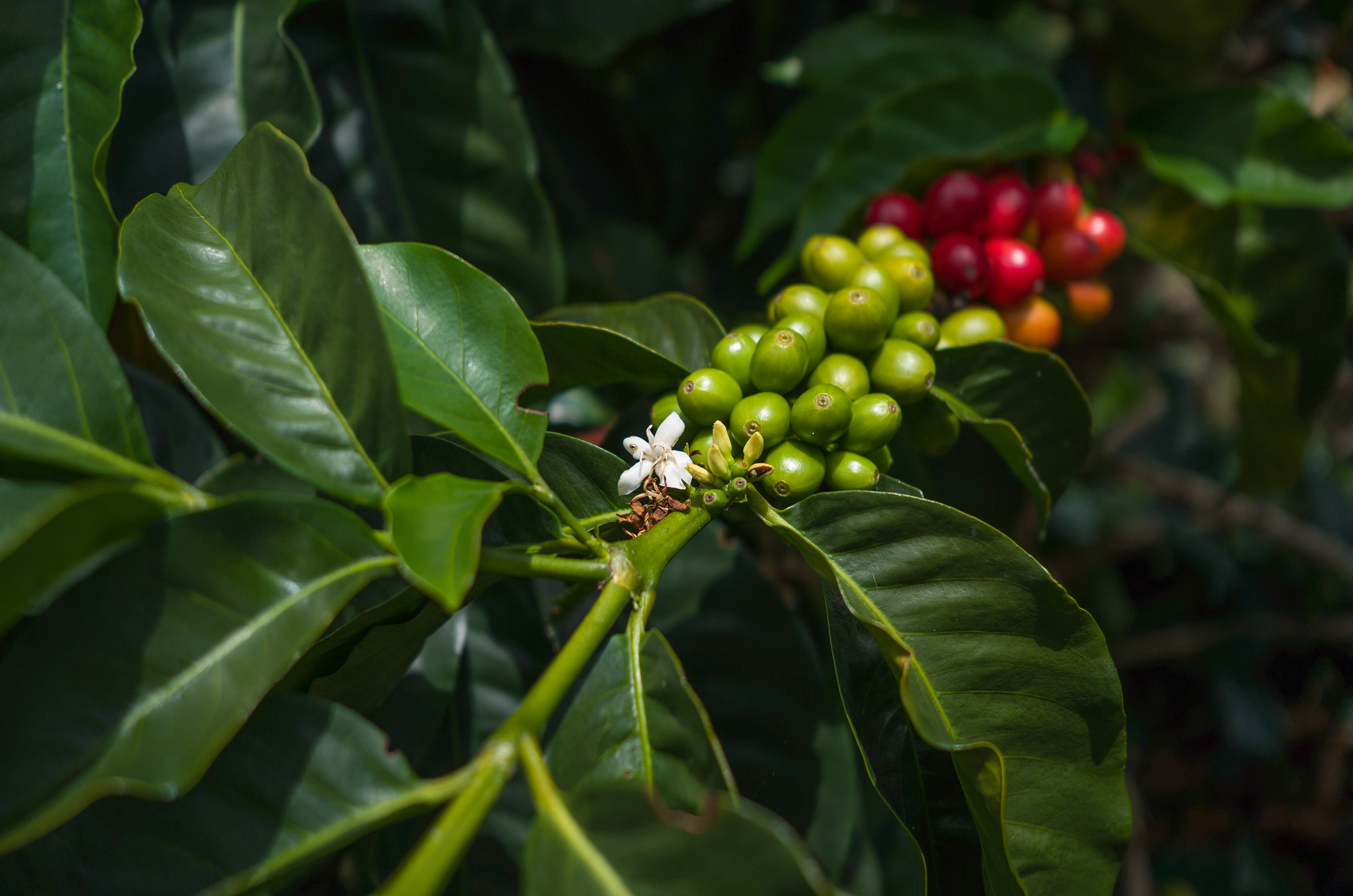 Colombian coffee in different stages.