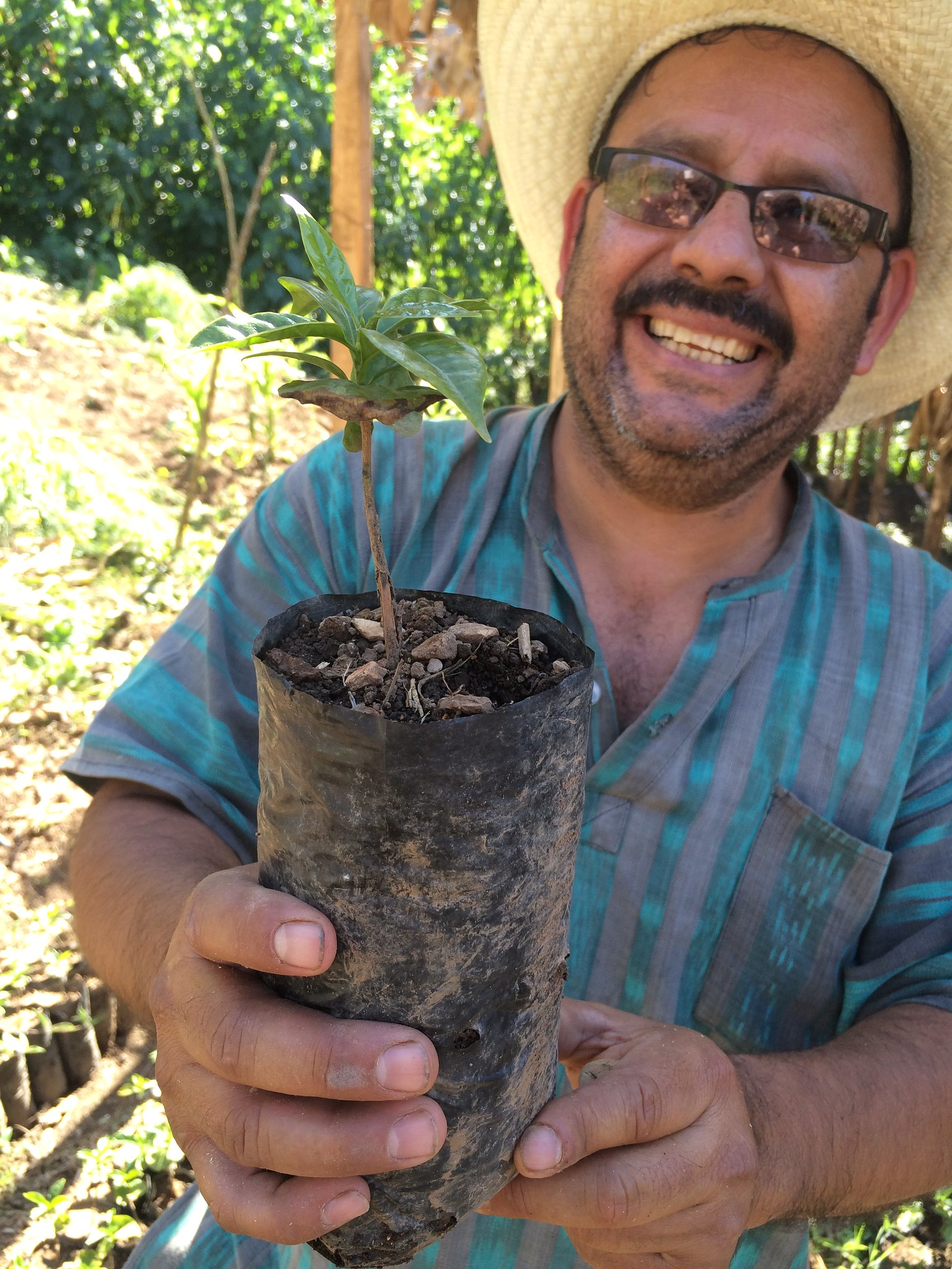 Rolando showing how they craft a top of Gesha on roots of Catimor, to try and make good tasting rust resistant plants