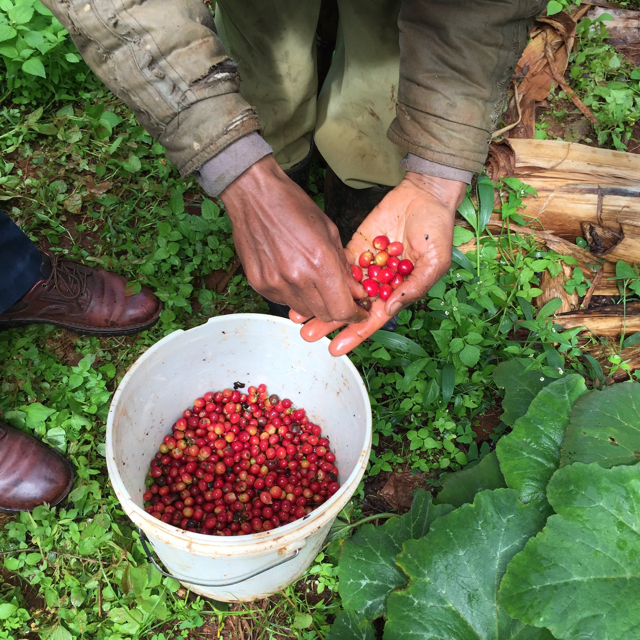 Video from the harvest at Kieni