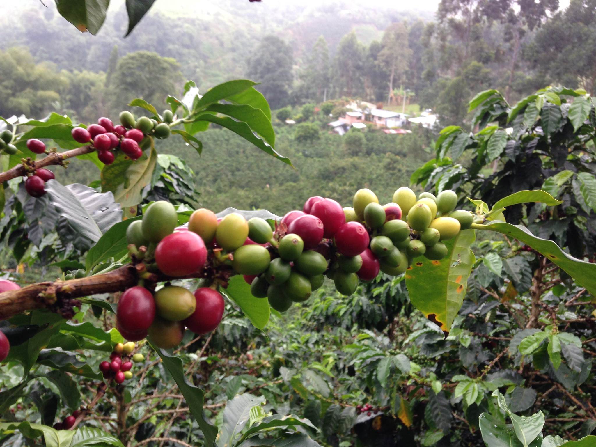 Coffee tree with Finca El Prado in the background.