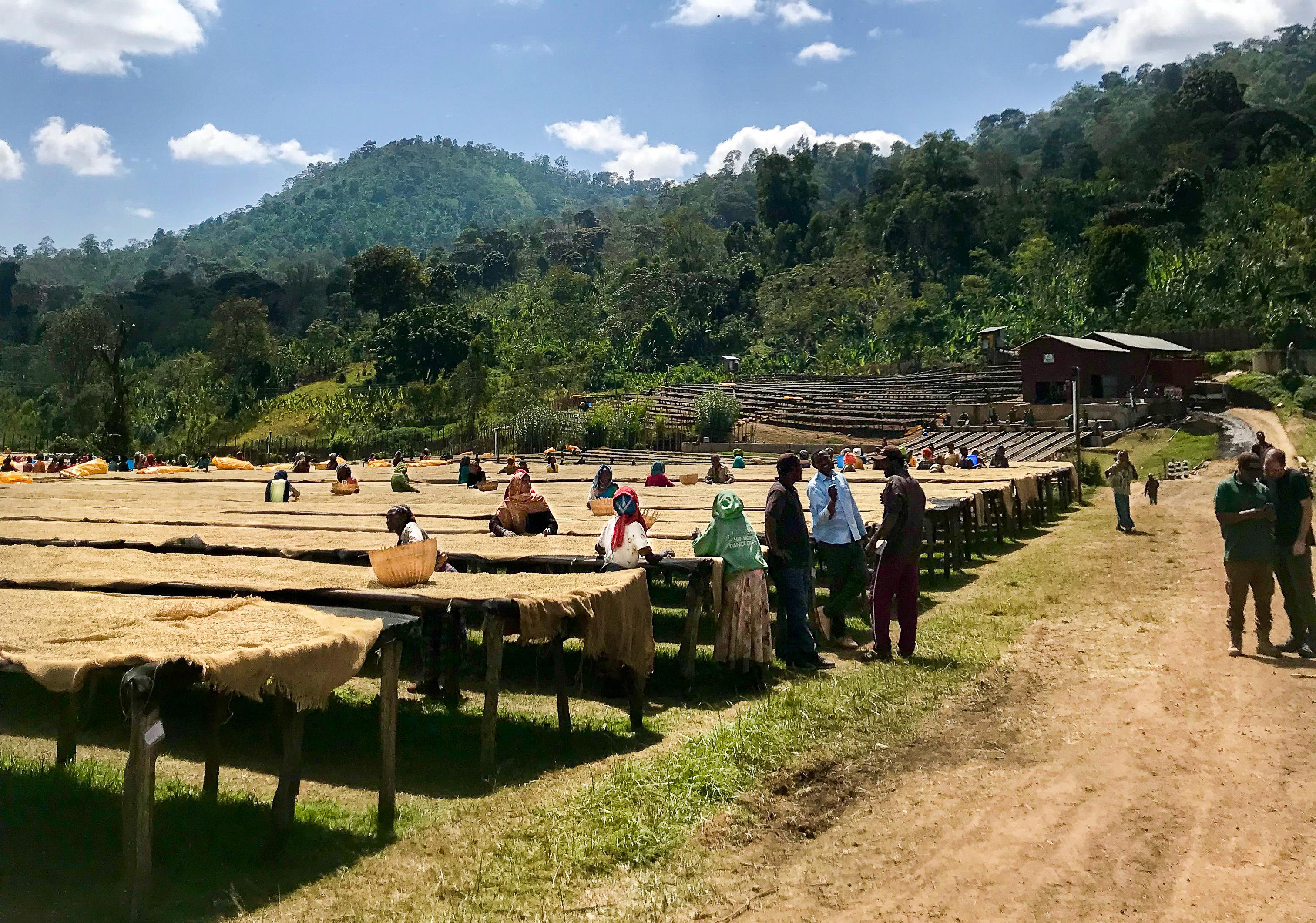 A Wild Coffee Forest In Ethiopia | Halo Beriti