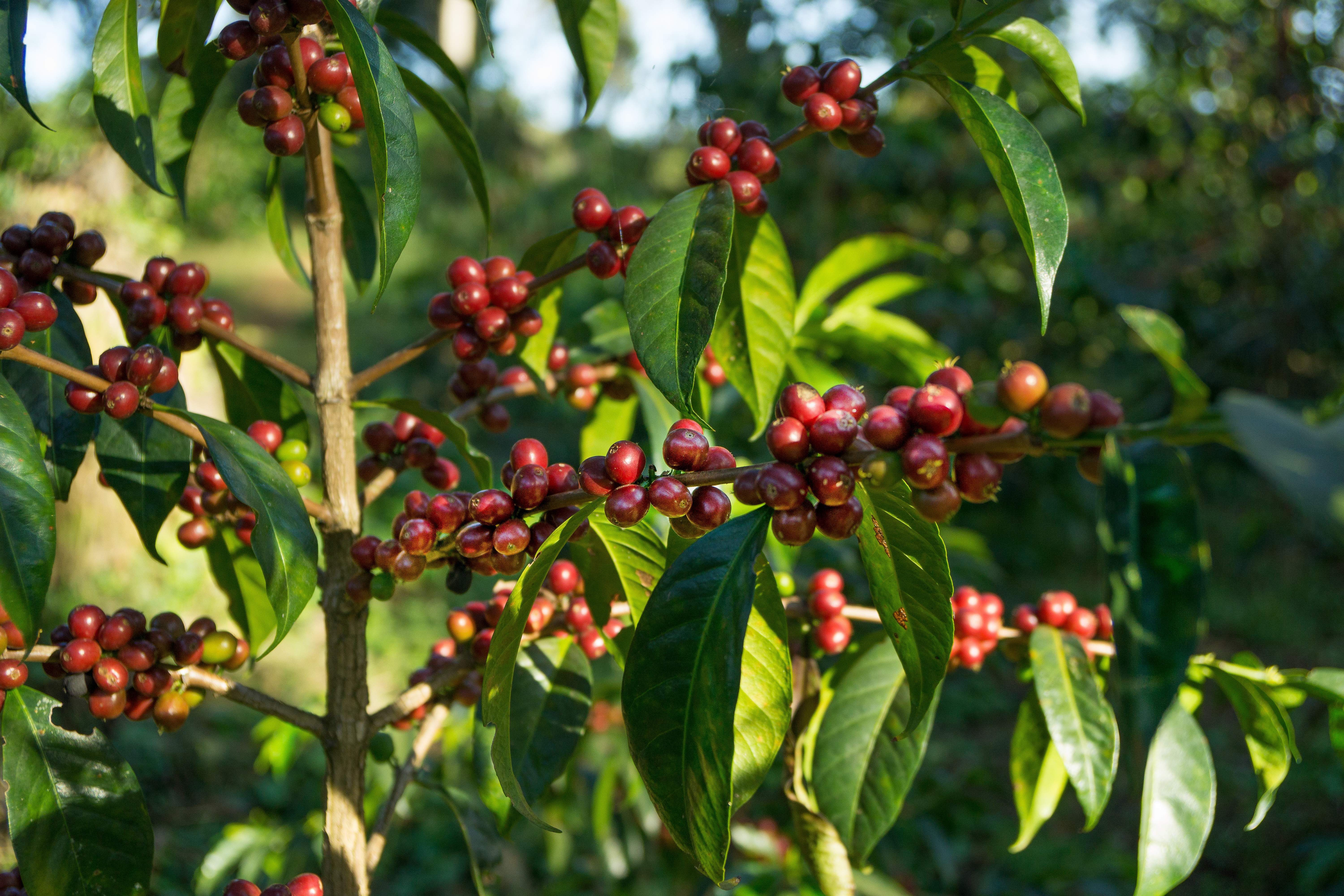 Ethiopian Coffee Berries