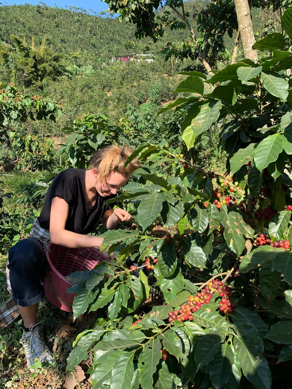 Anna Ida picking coffee cherries