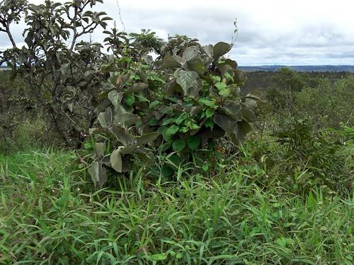 The Lobeira tree