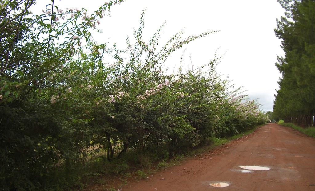 Daterra flowering.