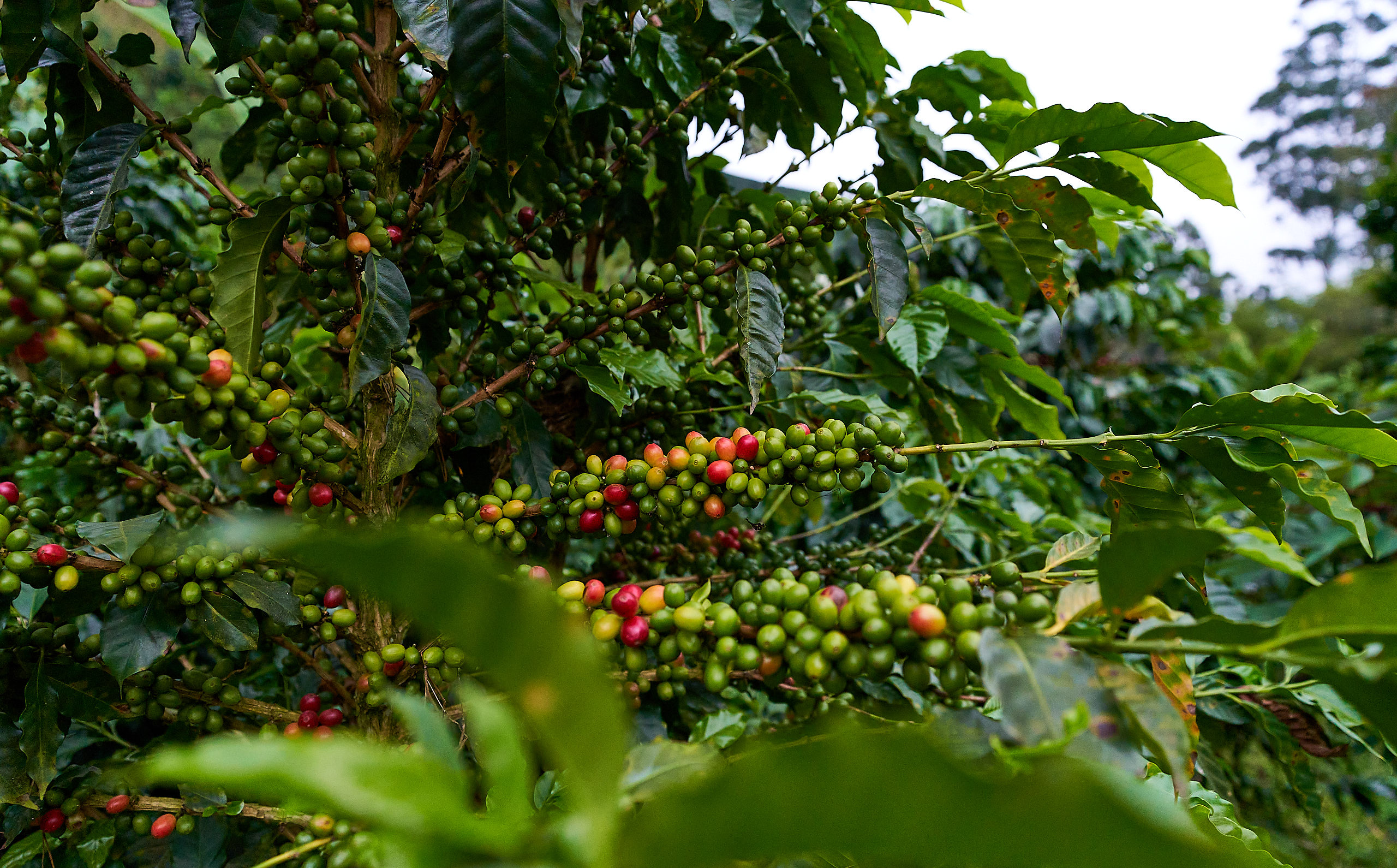 Caturra, Pink Bourbon, Typica and Geisha are some of the varieties grown by the Casallas'