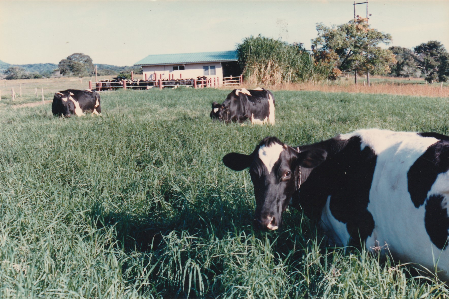 The Peterson's cows grazing at the farm